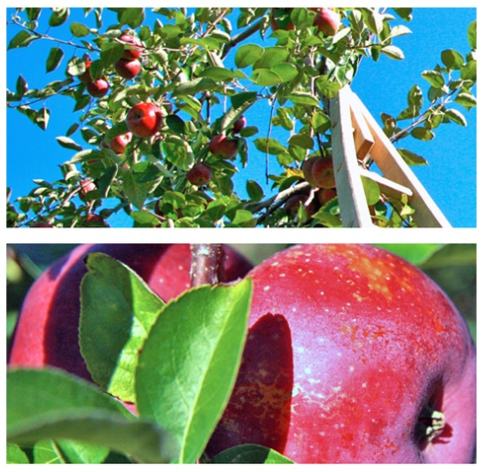 Holiday and Hearth Autumn Apple Picking Lisa Novelline Lisa Anne Novelline author writer seasonal celebration blog
